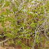 PopulusMonticola2.jpg 600 x 903 px 414.63 kB