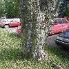 PopulusNigraItalica4.jpg 638 x 850 px 202.29 kB