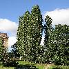 PopulusNigraItalica.jpg 576 x 768 px 153.34 kB