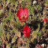 PortulacaGrandiflora3.jpg 1024 x 768 px 198.06 kB