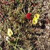 PortulacaGrandiflora4.jpg 1024 x 768 px 311.69 kB