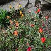 PortulacaGrandiflora.jpg 1024 x 768 px 255.83 kB