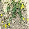PotentillaArgentea.jpg 1434 x 913 px 465.06 kB