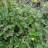 PotentillaArgyrophylla2.jpg 1024 x 768 px 257.87 kB