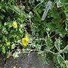 PotentillaArgyrophylla.jpg 1024 x 768 px 217.52 kB