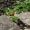 PotentillaAtrosanguinea2.jpg 720 x 960 px 453.75 kB