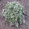 PotentillaAtrosanguineaArgyrophylla.jpg 1127 x 845 px 245.94 kB