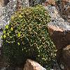 PotentillaBiflora2.jpg 903 x 600 px 395.14 kB