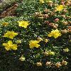 PotentillaBiflora3.jpg 600 x 900 px 382.95 kB