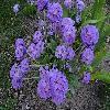 Primula15.jpg 1141 x 856 px 293.28 kB