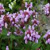 PrunellaGrandiflora2.jpg 1024 x 768 px 156.08 kB