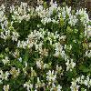 PrunellaGrandiflora3.jpg 1024 x 768 px 243.58 kB