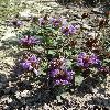 PrunellaGrandiflora4.jpg 720 x 960 px 482.4 kB