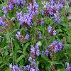 PrunellaGrandiflora.jpg 1024 x 768 px 190.45 kB