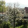 Prunus4.jpg 1120 x 840 px 282.61 kB