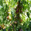 Prunus6.jpg 1024 x 768 px 235.8 kB