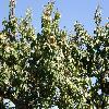 PrunusArmeniaca2.jpg 1127 x 845 px 257.55 kB