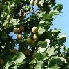 PrunusArmeniaca3.jpg 1127 x 845 px 158.65 kB