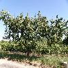 PrunusArmeniaca.jpg 1127 x 845 px 280.55 kB