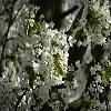 PrunusAvium4.jpg 1024 x 768 px 164.92 kB