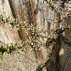 PrunusBesseyi2.jpg 1127 x 845 px 230.01 kB