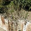 PrunusBesseyi.jpg 1127 x 845 px 327.32 kB