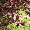PrunusCerasifera5.jpg 576 x 768 px 149.53 kB