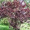 PrunusCerasifera6.jpg 576 x 768 px 237.25 kB
