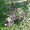 PrunusCerasifera7.jpg 615 x 820 px 221.6 kB