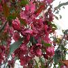 PrunusCerasifera8.jpg 1127 x 845 px 152.89 kB