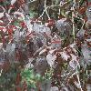 PrunusCerasiferaAtropurpurea.jpg 1127 x 845 px 187.85 kB