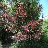 PrunusCerasiferaHessei.jpg 1024 x 768 px 368.61 kB