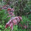 PrunusCerasiferaPissardii2.jpg 1167 x 875 px 314.07 kB