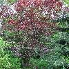 PrunusCerasiferaPissardii.jpg 681 x 908 px 312.1 kB