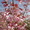 PrunusKursar2.jpg 600 x 800 px 109.07 kB