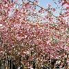 PrunusKursar.jpg 600 x 800 px 203.27 kB