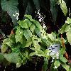 PseuderanthemumCrenulatum.jpg 1024 x 768 px 166.36 kB