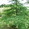 PseudolarixAmabilis2.jpg 630 x 840 px 180.48 kB