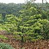 PseudolarixAmabilisVirgata.jpg 798 x 1200 px 593.93 kB