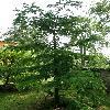 PseudolarixAmabilis.jpg 630 x 840 px 175.09 kB
