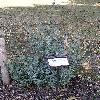 PseudotsugaGlaucaBlueWonder.jpg 576 x 768 px 166.75 kB