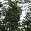 PseudotsugaGlauca.jpg 681 x 908 px 265.94 kB