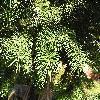 PseudotsugaMenziesii3.jpg 1024 x 768 px 306.49 kB