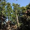 PseudotsugaMenziesii7.jpg 797 x 1200 px 556.75 kB
