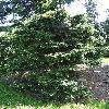 PseudotsugaMenziesiiFletcheri.jpg 681 x 908 px 485.31 kB