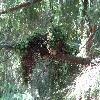 PseudotsugaMenziesiiKostelec.jpg 1024 x 768 px 268.58 kB