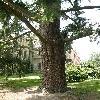 PseudotsugaTaxifolia.jpg 615 x 820 px 162.67 kB