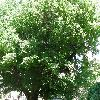 PterocaryaFraxinifolia2.jpg 1127 x 845 px 322.22 kB