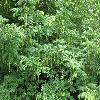 PterocaryaFraxinifolia4.jpg 1127 x 845 px 293.52 kB