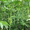 PterocaryaFraxinifolia7.jpg 1127 x 845 px 238.44 kB